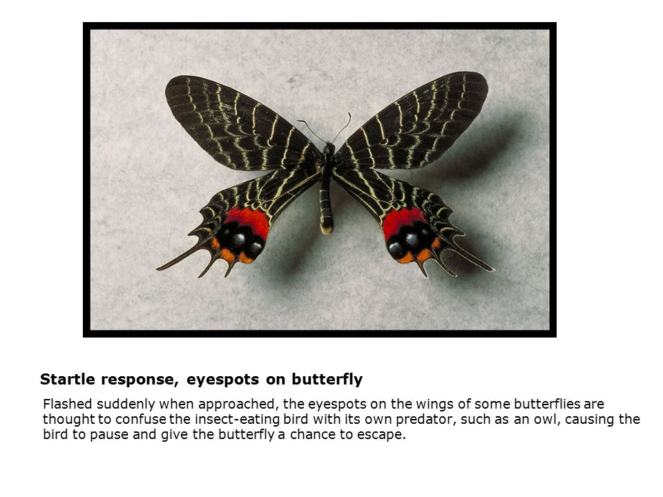 Startle response, eyespots on butterfly  Flashed suddenly when approached, the eyespots on the wings of some butterflies are thought to confuse the insect-eating bird with its own predator, such as an owl, causing the bird to pause and give the butterfly a chance to escape.