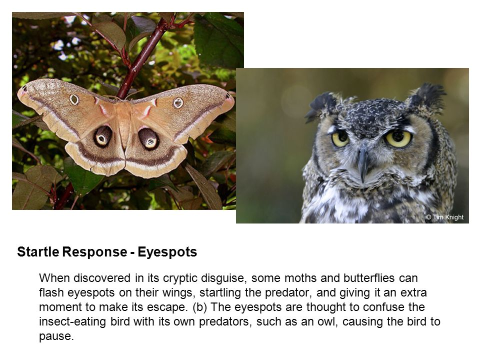 Startle Response - Eyespots  When discovered in its cryptic disguise, some moths and butterflies can flash eyespots on their wings, startling the pre