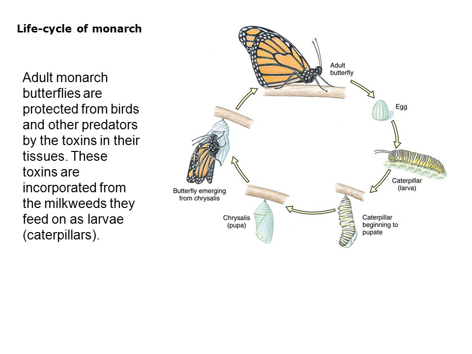  Adult monarch butterflies are protected from birds and other predators by the toxins in their tissues.