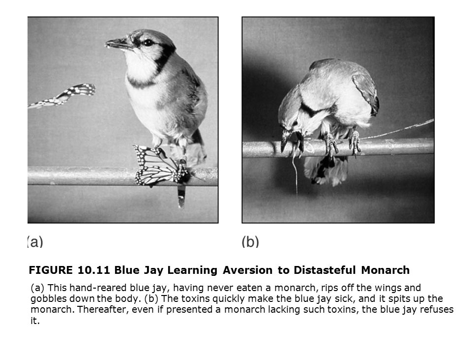 FIGURE 10.11 Blue Jay Learning Aversion to Distasteful Monarch  (a) This hand-reared blue jay, having never eaten a monarch, rips off the wings and gobbles down the body.