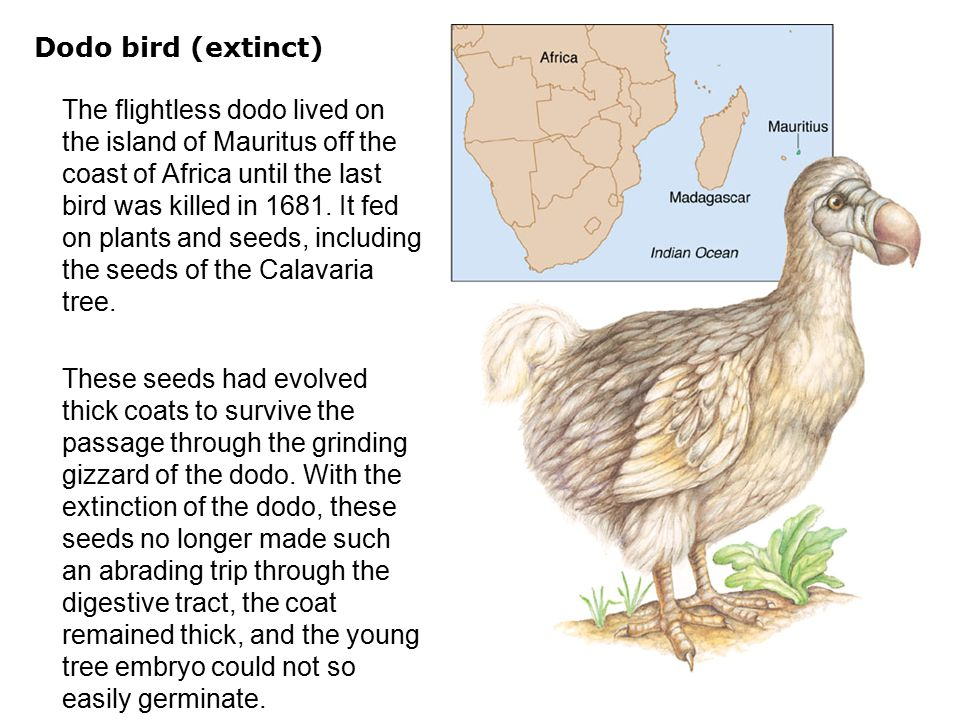Dodo bird (extinct)  The flightless dodo lived on the island of Mauritus off the coast of Africa until the last bird was killed in 1681. It fed on pl