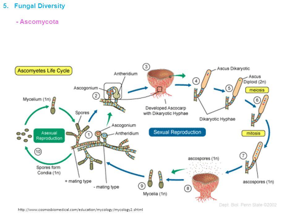 http://www.cosmosbiomedical.com/education/mycology/mycology2.shtml 5. Fungal Diversity - Ascomycota