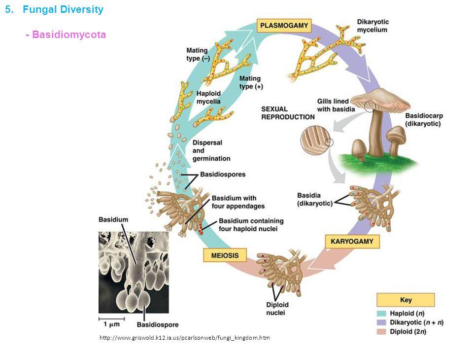 http://www.griswold.k12.ia.us/pcarlsonweb/fungi_kingdom.htm 5. Fungal Diversity - Basidiomycota