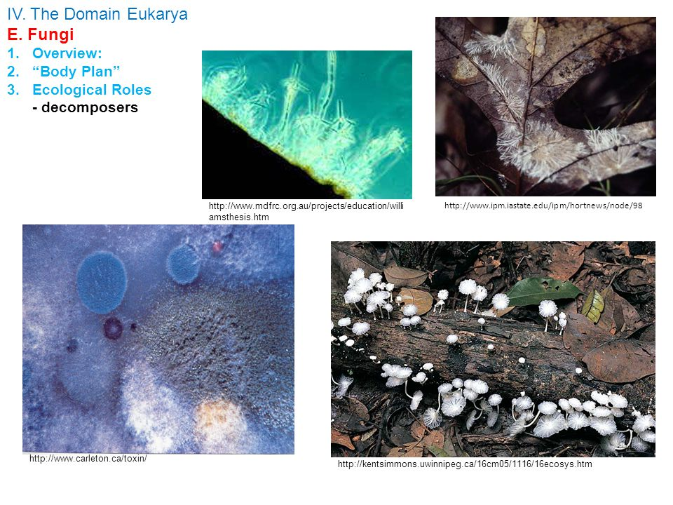 http://www.ipm.iastate.edu/ipm/hortnews/node/98 http://www.uoguelph.ca/~gbarron/N-D%20Fungi/n- dfungi.htm IV. The Domain Eukarya E. Fungi 1.Overview: