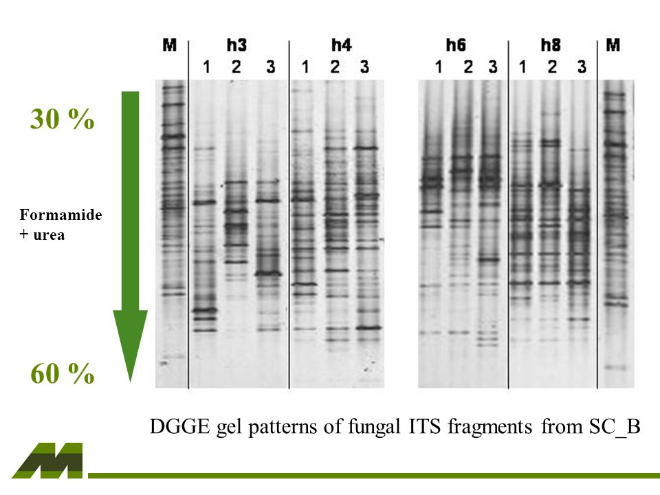 DGGE gel patterns of fungal ITS fragments from SC_B Formamide + urea 30 % 60 %