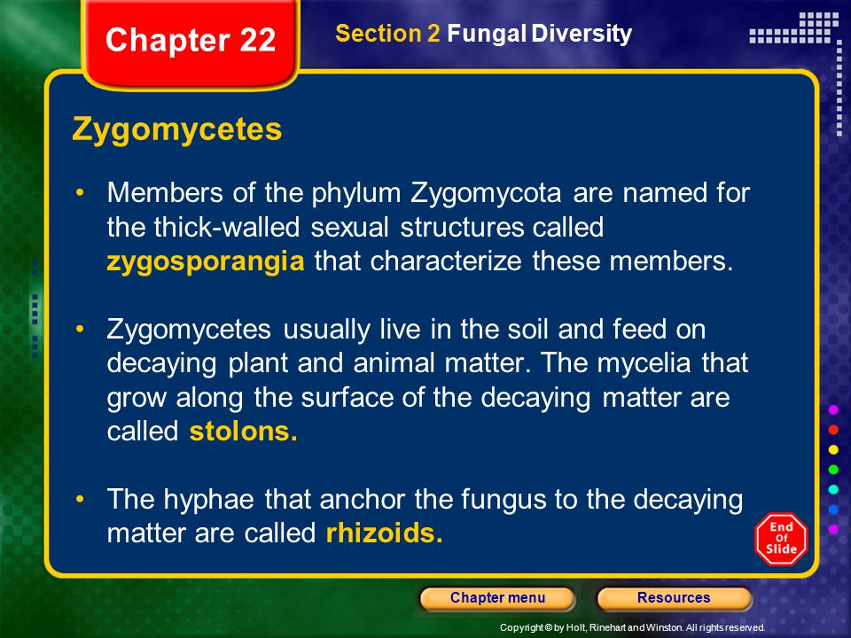 Copyright © by Holt, Rinehart and Winston. All rights reserved. ResourcesChapter menu Zygomycetes Members of the phylum Zygomycota are named for the t