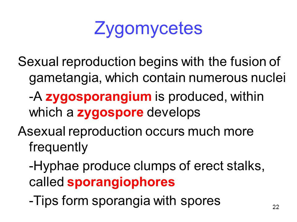 22 Zygomycetes Sexual reproduction begins with the fusion of gametangia, which contain numerous nuclei -A zygosporangium is produced, within which a z