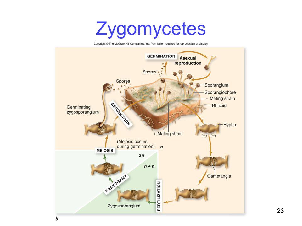 23 Zygomycetes