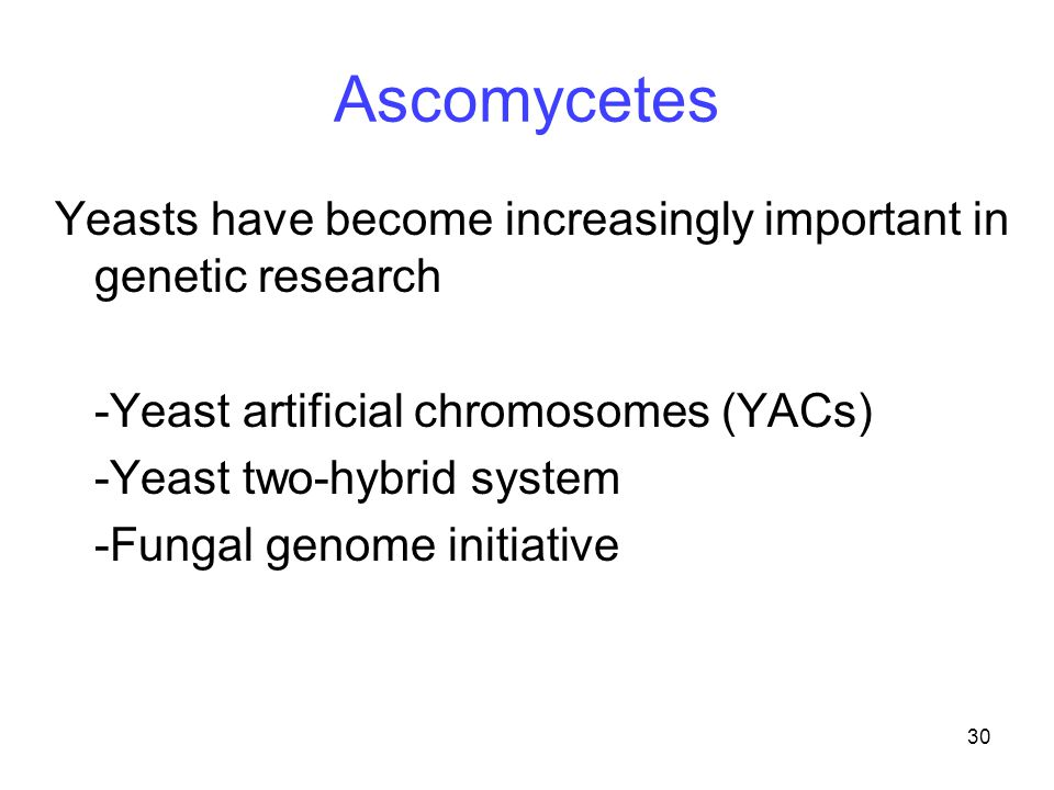 30 Ascomycetes Yeasts have become increasingly important in genetic research -Yeast artificial chromosomes (YACs) -Yeast two-hybrid system -Fungal gen
