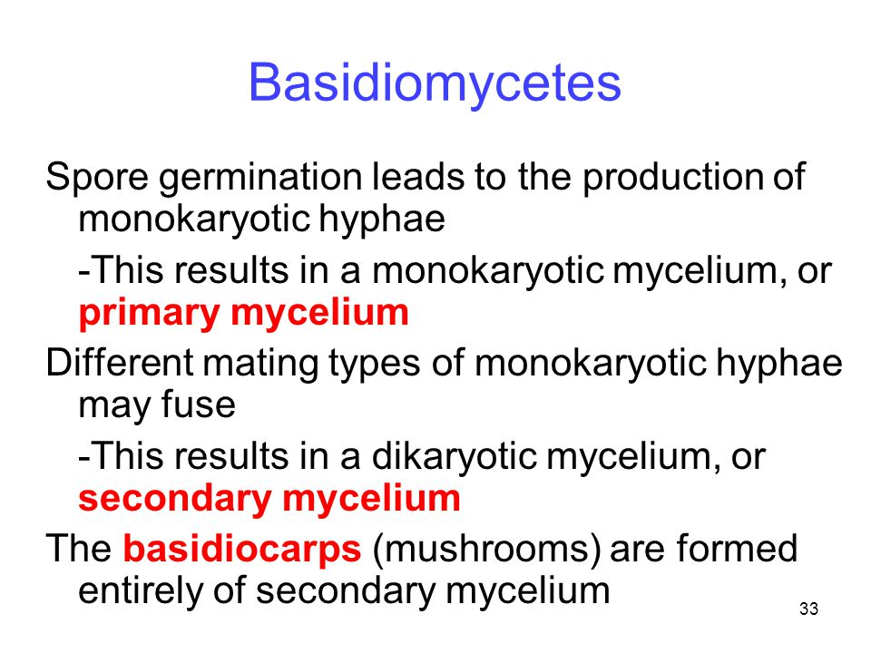 33 Basidiomycetes Spore germination leads to the production of monokaryotic hyphae -This results in a monokaryotic mycelium, or primary mycelium Diffe