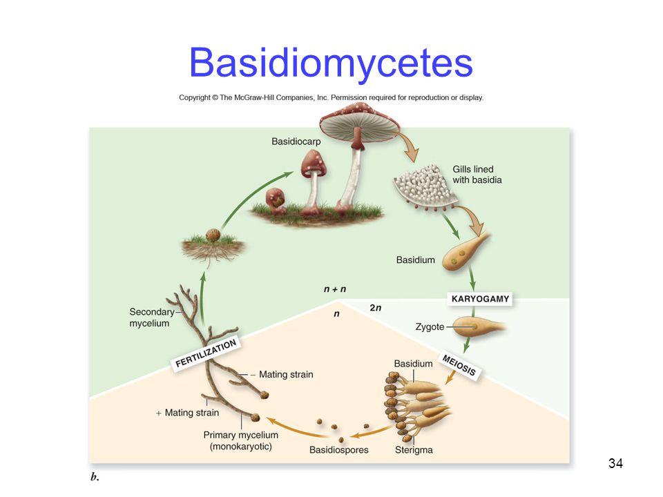 34 Basidiomycetes
