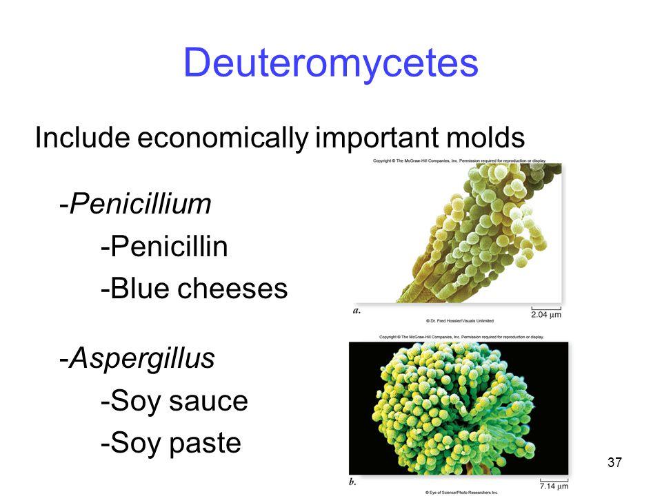 37 Deuteromycetes Include economically important molds -Penicillium -Penicillin -Blue cheeses -Aspergillus -Soy sauce -Soy paste