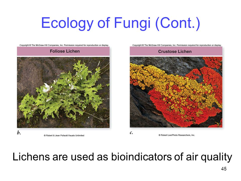 45 Ecology of Fungi (Cont.) Lichens are used as bioindicators of air quality