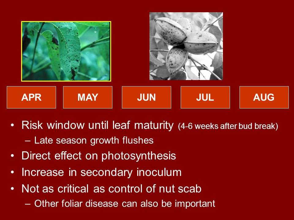 APRMAYJUNJULAUG Risk window until leaf maturity (4-6 weeks after bud break) –Late season growth flushes Direct effect on photosynthesis Increase in secondary inoculum Not as critical as control of nut scab –Other foliar disease can also be important