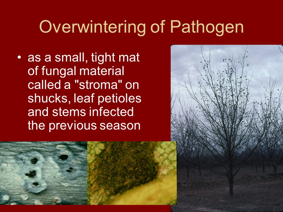Overwintering of Pathogen as a small, tight mat of fungal material called a stroma on shucks, leaf petioles and stems infected the previous season
