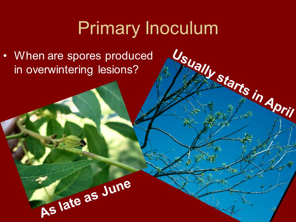 Primary Inoculum When are spores produced in overwintering lesions.
