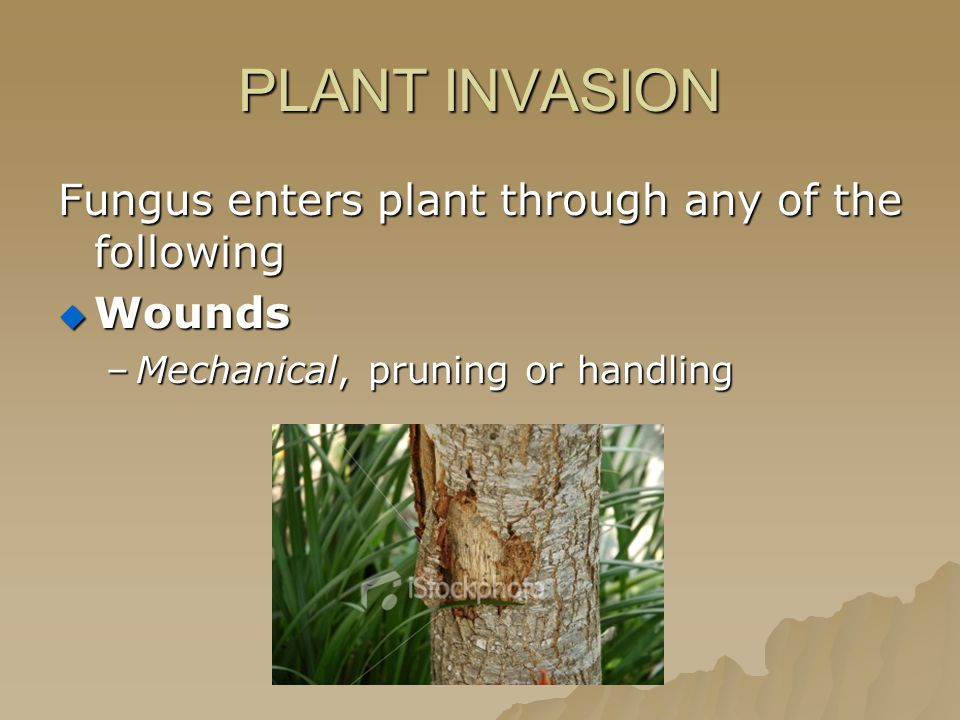 PLANT INVASION Fungus enters plant through any of the following  Wounds –Mechanical, pruning or handling