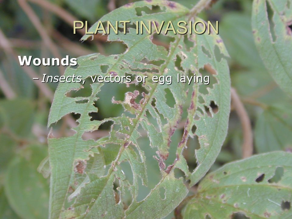 PLANT INVASION Wounds –Insects, vectors or egg laying