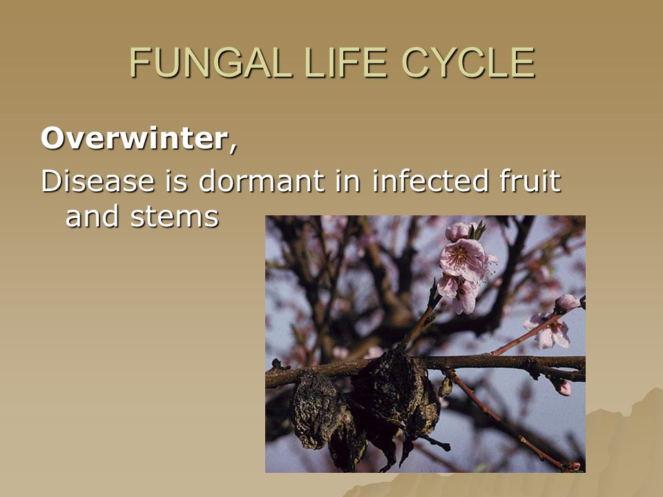 FUNGAL LIFE CYCLE Overwinter, Disease is dormant in infected fruit and stems