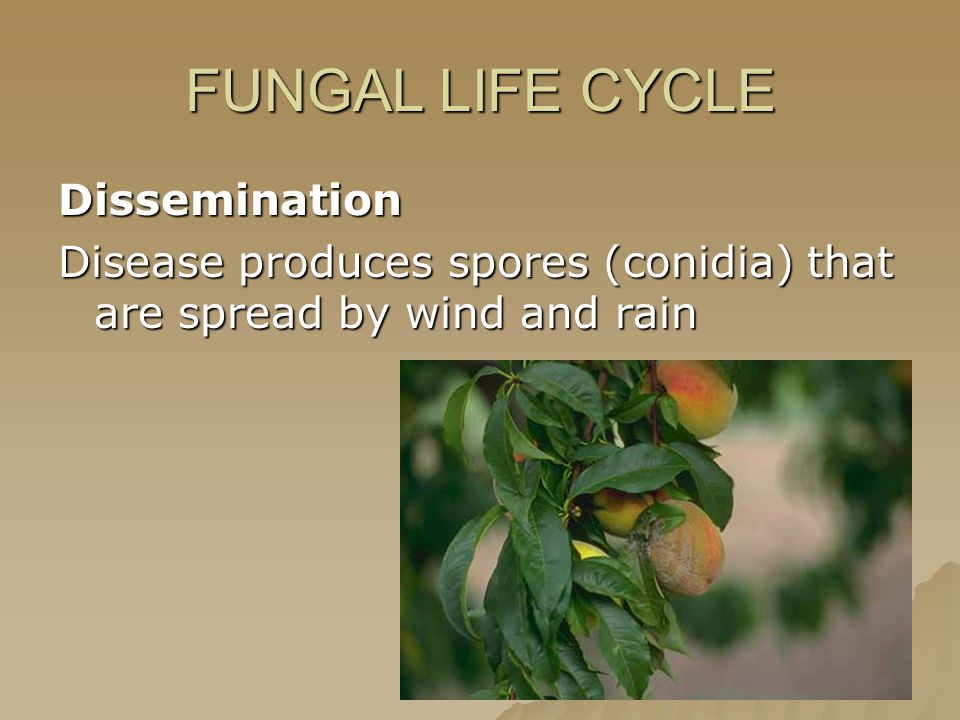 FUNGAL LIFE CYCLE Dissemination Disease produces spores (conidia) that are spread by wind and rain