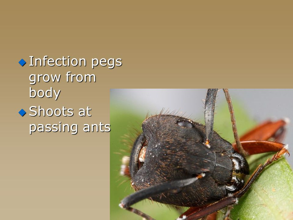  Infection pegs grow from body  Shoots at passing ants