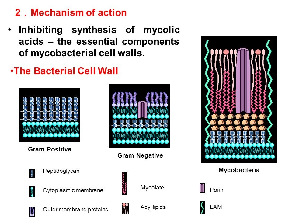 The Bacterial Cell Wall Porin Cytoplasmic membrane Outer membrane proteins Peptidoglycan Acyl lipidsLAM Mycolate Gram Positive Gram Negative Mycobacte