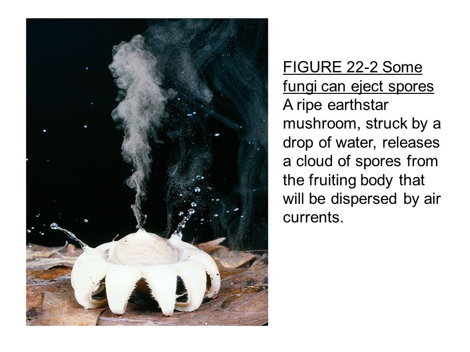 FIGURE 22-2 Some fungi can eject spores A ripe earthstar mushroom, struck by a drop of water, releases a cloud of spores from the fruiting body that will be dispersed by air currents.