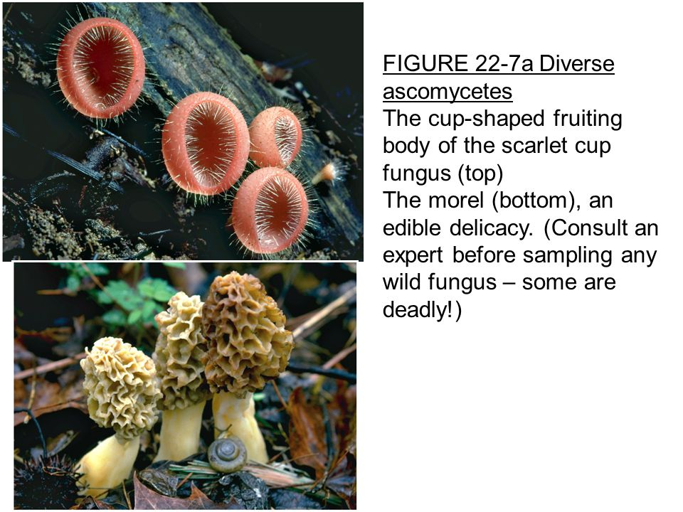 FIGURE 22-7a Diverse ascomycetes The cup-shaped fruiting body of the scarlet cup fungus (top) The morel (bottom), an edible delicacy.