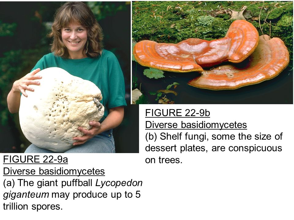 FIGURE 22-9a Diverse basidiomycetes (a) The giant puffball Lycopedon giganteum may produce up to 5 trillion spores.
