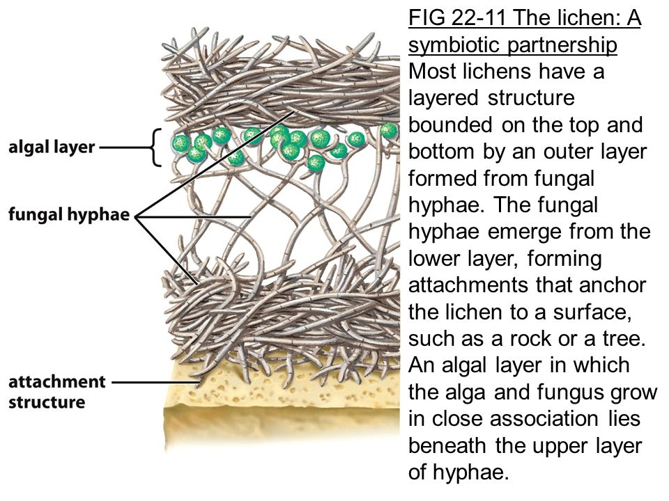 FIG 22-11 The lichen: A symbiotic partnership Most lichens have a layered structure bounded on the top and bottom by an outer layer formed from fungal hyphae.