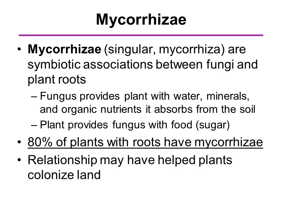 Mycorrhizae Mycorrhizae (singular, mycorrhiza) are symbiotic associations between fungi and plant roots –Fungus provides plant with water, minerals, and organic nutrients it absorbs from the soil –Plant provides fungus with food (sugar) 80% of plants with roots have mycorrhizae Relationship may have helped plants colonize land