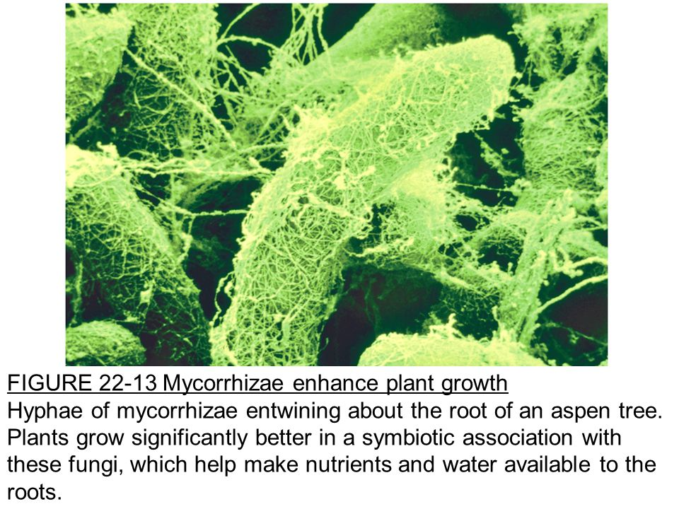 FIGURE 22-13 Mycorrhizae enhance plant growth Hyphae of mycorrhizae entwining about the root of an aspen tree.