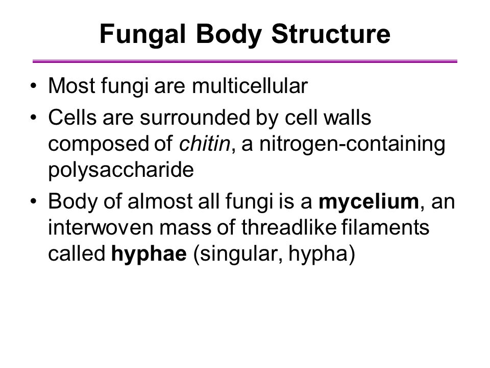 Fungal Body Structure Most fungi are multicellular Cells are surrounded by cell walls composed of chitin, a nitrogen-containing polysaccharide Body of almost all fungi is a mycelium, an interwoven mass of threadlike filaments called hyphae (singular, hypha)