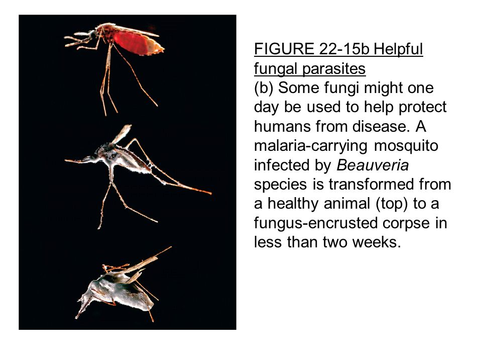 FIGURE 22-15b Helpful fungal parasites (b) Some fungi might one day be used to help protect humans from disease.