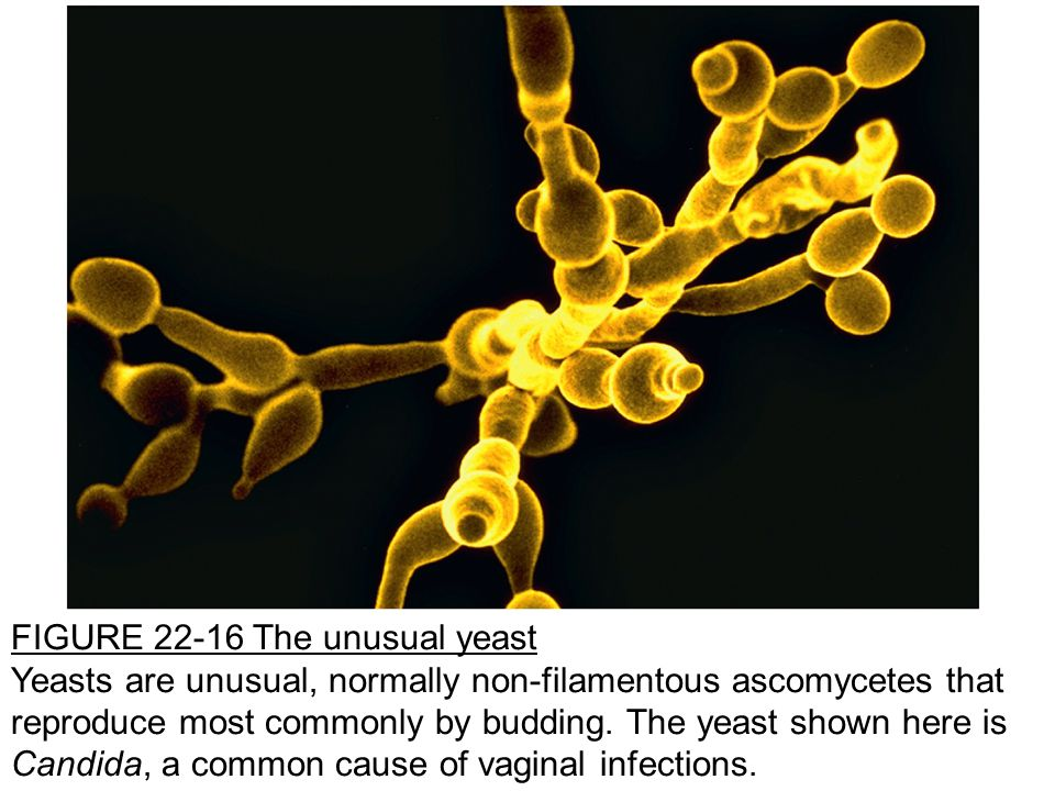 FIGURE 22-16 The unusual yeast Yeasts are unusual, normally non-filamentous ascomycetes that reproduce most commonly by budding.