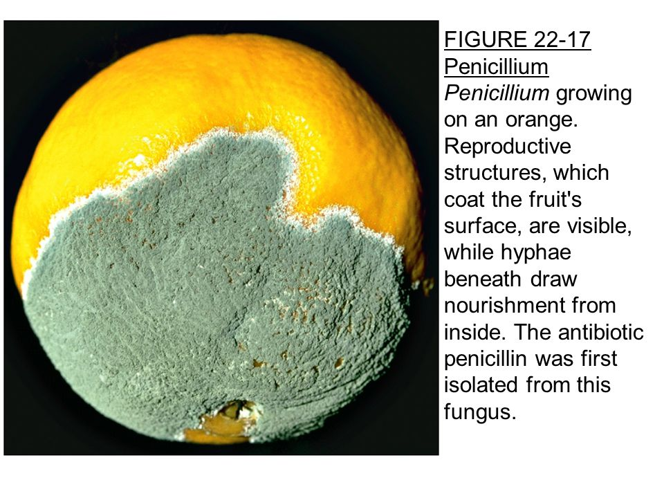 FIGURE 22-17 Penicillium Penicillium growing on an orange.