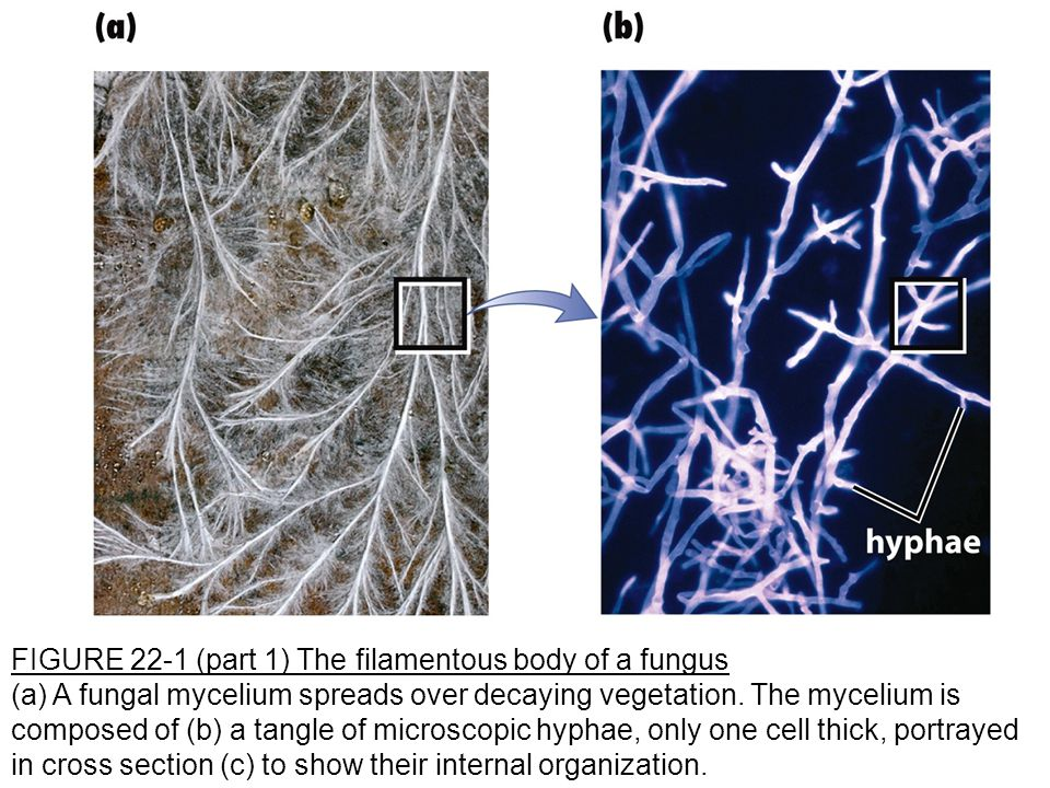 FIGURE 22-1 (part 1) The filamentous body of a fungus (a) A fungal mycelium spreads over decaying vegetation.