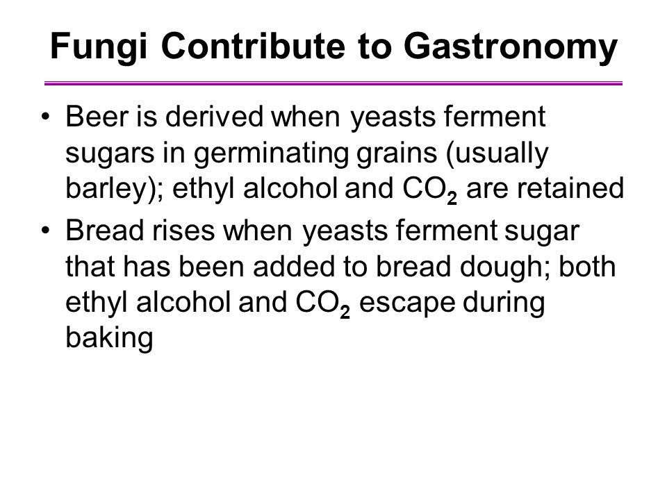 Fungi Contribute to Gastronomy Beer is derived when yeasts ferment sugars in germinating grains (usually barley); ethyl alcohol and CO 2 are retained Bread rises when yeasts ferment sugar that has been added to bread dough; both ethyl alcohol and CO 2 escape during baking