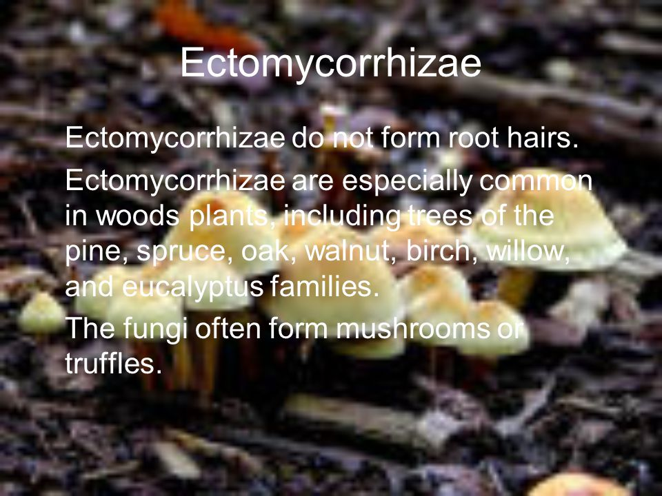 Ectomycorrhizae Ectomycorrhizae do not form root hairs. Ectomycorrhizae are especially common in woods plants, including trees of the pine, spruce, oa