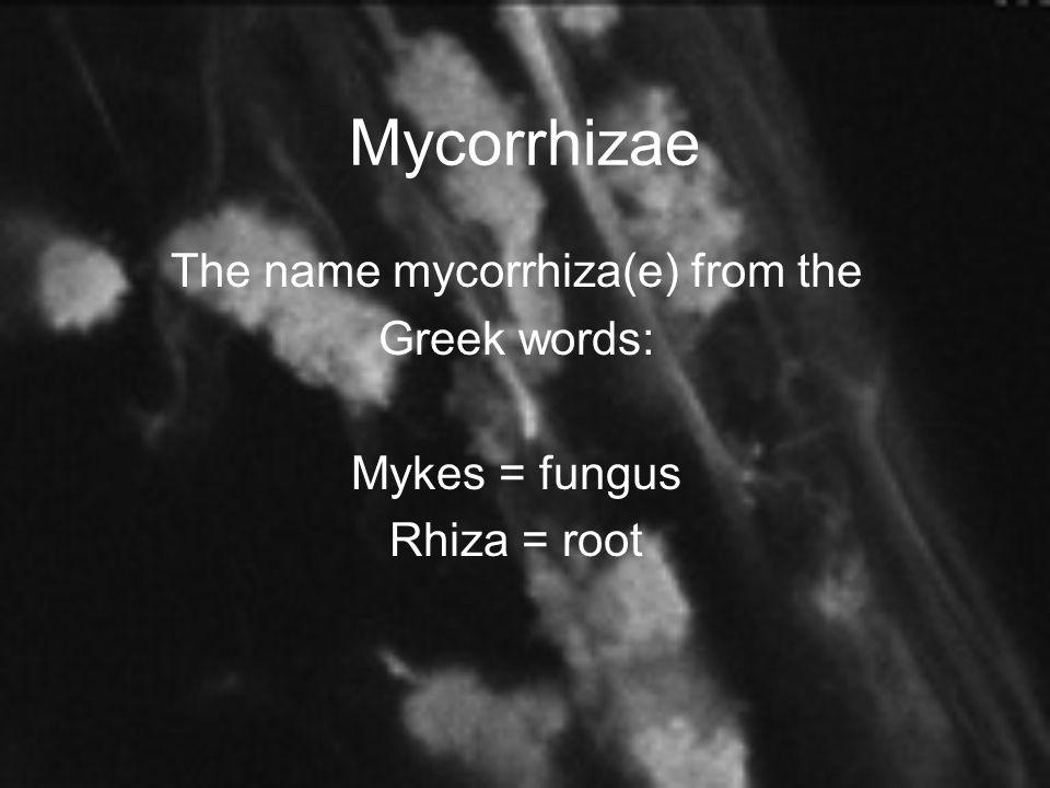 Mycorrhizae The name mycorrhiza(e) from the Greek words: Mykes = fungus Rhiza = root