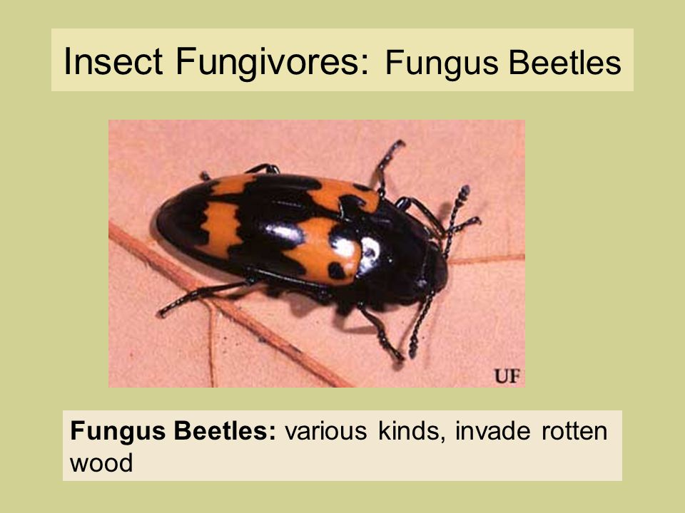 Insect Fungivores: Fungus Beetles Fungus Beetles: various kinds, invade rotten wood