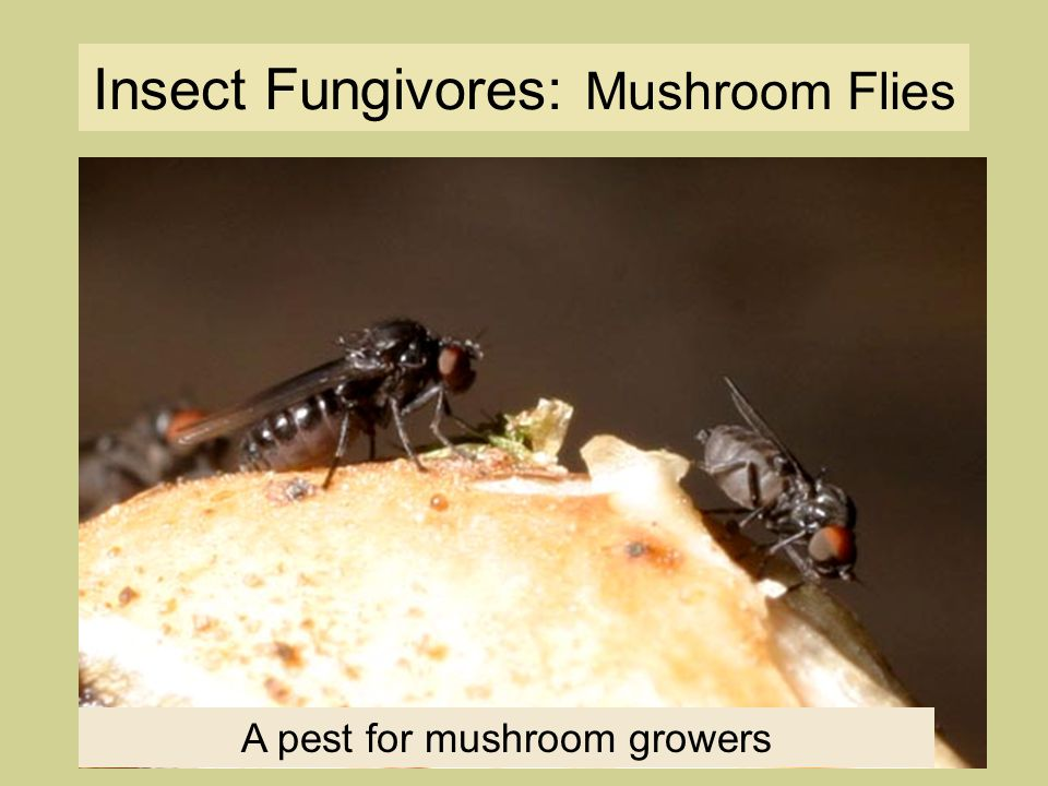 Insect Fungivores: Mushroom Flies A pest for mushroom growers