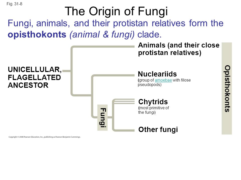 Fig. 31-8 Animals (and their close protistan relatives) Other fungi Nucleariids (group of amoebae with filose pseudopods)amoebae Chytrids (most primit
