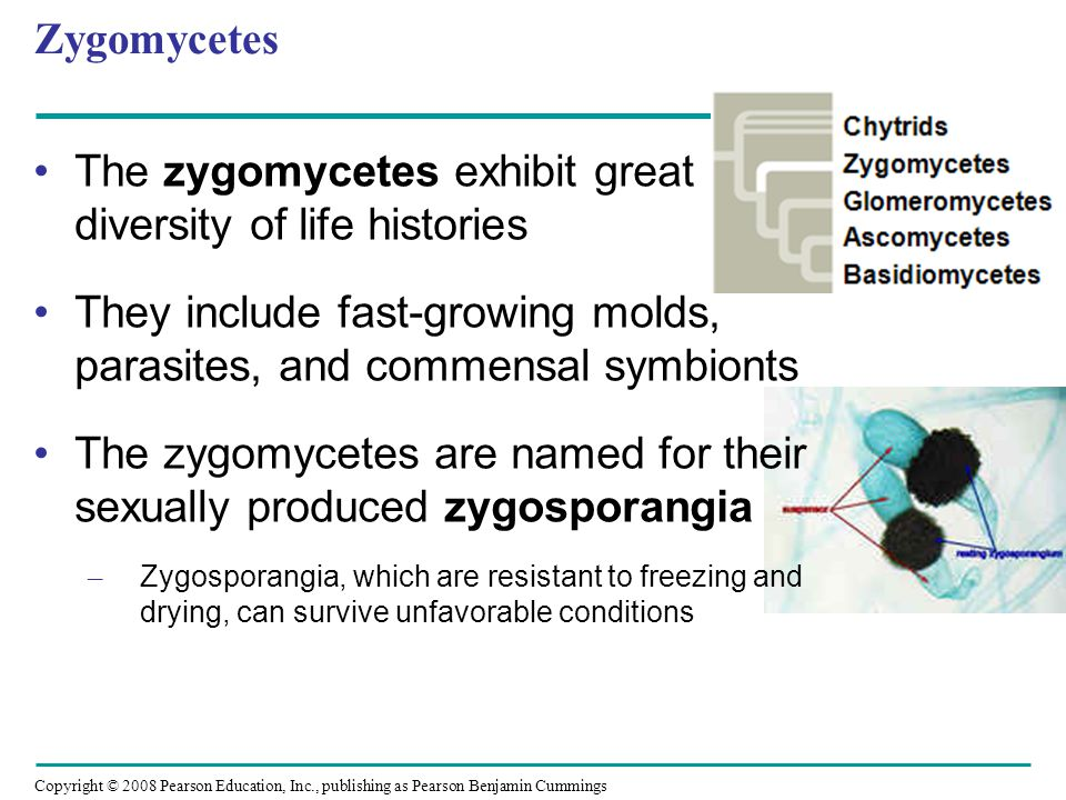 Copyright © 2008 Pearson Education, Inc., publishing as Pearson Benjamin Cummings Zygomycetes The zygomycetes exhibit great diversity of life histories They include fast-growing molds, parasites, and commensal symbionts The zygomycetes are named for their sexually produced zygosporangia – Zygosporangia, which are resistant to freezing and drying, can survive unfavorable conditions