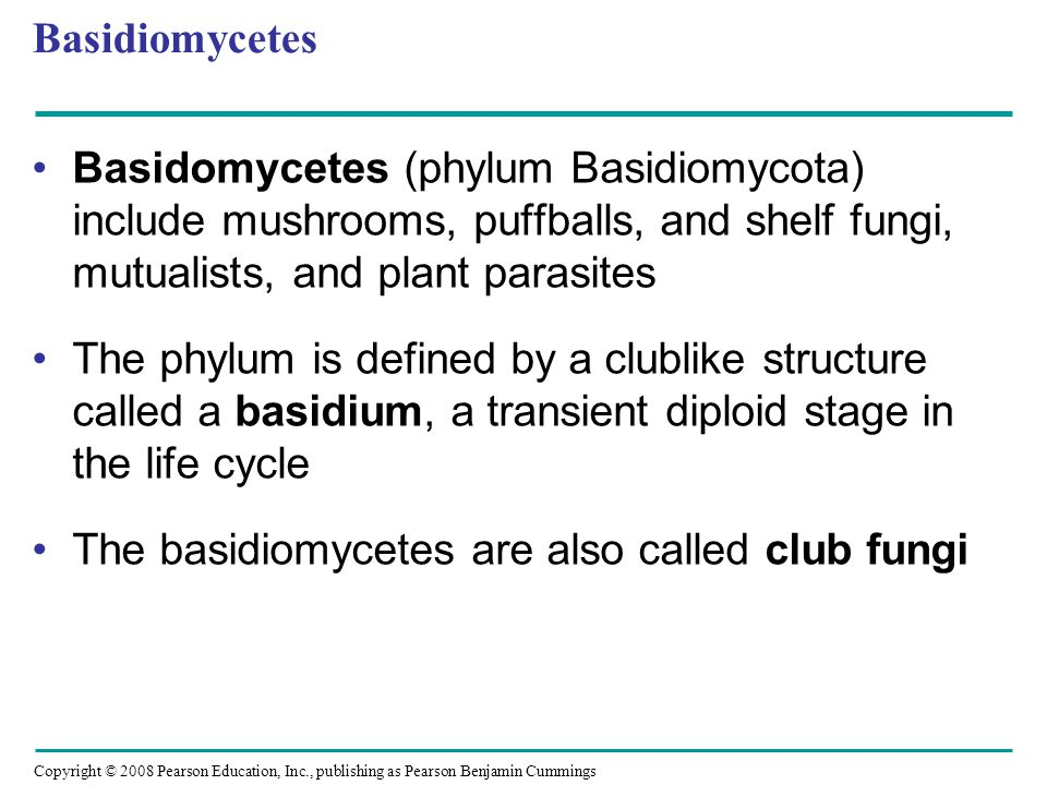Copyright © 2008 Pearson Education, Inc., publishing as Pearson Benjamin Cummings Basidiomycetes Basidomycetes (phylum Basidiomycota) include mushrooms, puffballs, and shelf fungi, mutualists, and plant parasites The phylum is defined by a clublike structure called a basidium, a transient diploid stage in the life cycle The basidiomycetes are also called club fungi