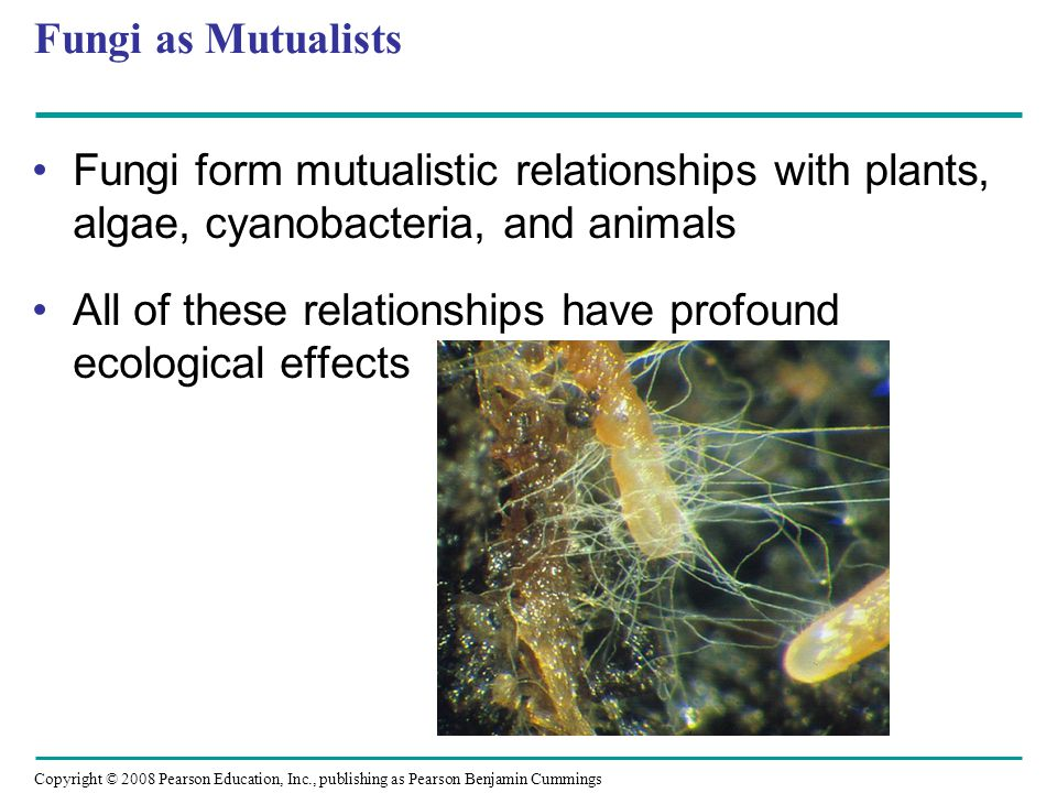 Copyright © 2008 Pearson Education, Inc., publishing as Pearson Benjamin Cummings Fungi as Mutualists Fungi form mutualistic relationships with plants, algae, cyanobacteria, and animals All of these relationships have profound ecological effects