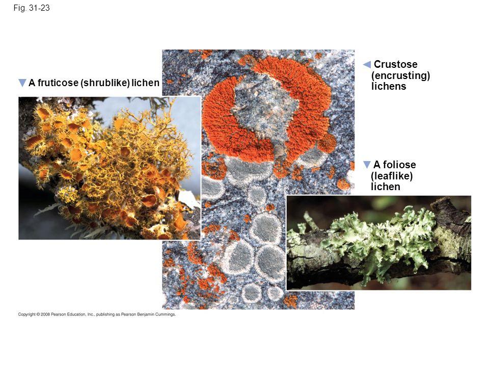 Fig. 31-23 A foliose (leaflike) lichen A fruticose (shrublike) lichen Crustose (encrusting) lichens