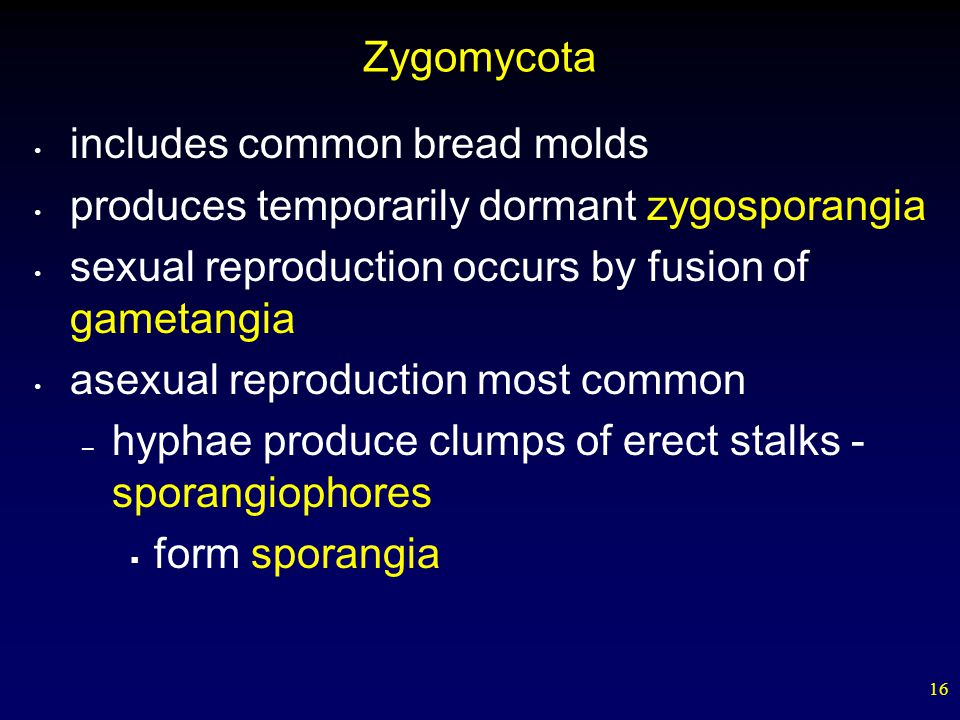 16 Zygomycota includes common bread molds produces temporarily dormant zygosporangia sexual reproduction occurs by fusion of gametangia asexual reprod