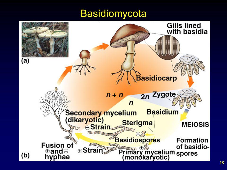 19 Basidiomycota