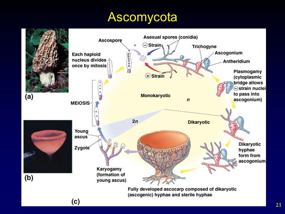 21 Ascomycota